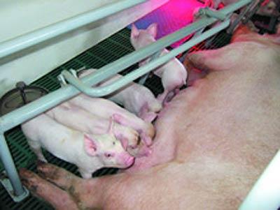 Оборудование для содержания свиноматок с поросятами (СТМ)