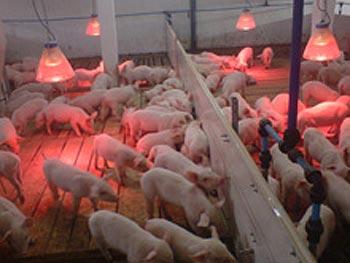 Оборудование для доращивания и откорма свиней (СТО)