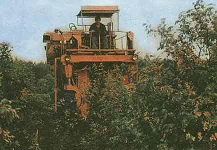 Комбайн для уборки плодов шиповника (МПШ-1)