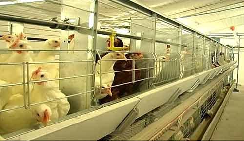 Оборудование клеточное для выращивания родительского стада кур-несушек (ОКПБ)